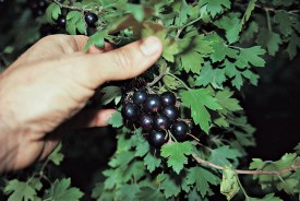 Clove currant fruit