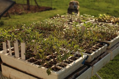 Seedling plants (and Sammy the dog) in spring