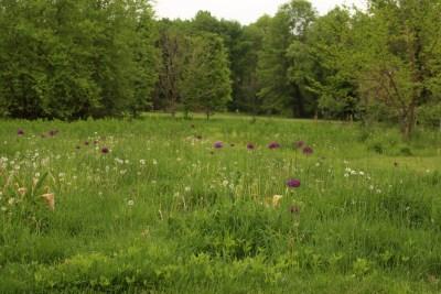 Allium hollandicum, Purple Sensation, field2