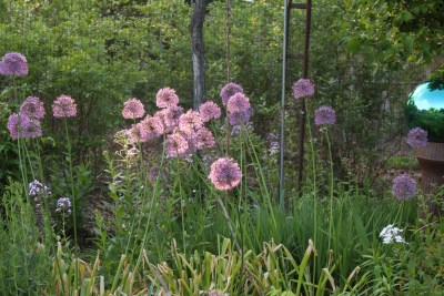 Alliums in the garden.