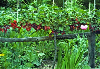 Red currant espalier
