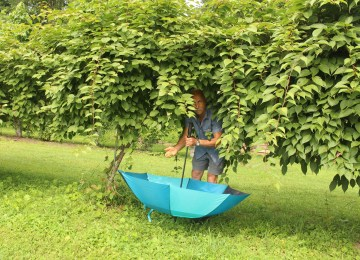 Hardy kiwifruit harvest into inverted umbrella