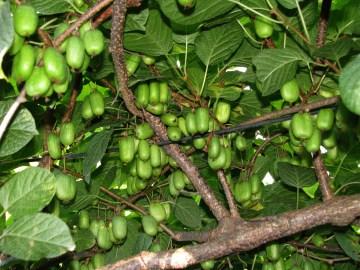 Hardy kiwifruits trained for easy harvest