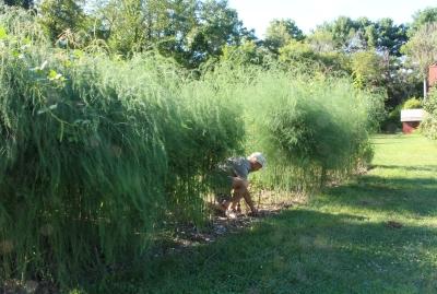 Weeding asparagus in past years