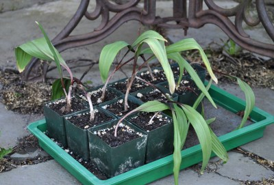 Ramp seedlings