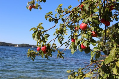 Maine's wild apples