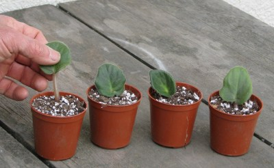 Rooting African violet leaves
