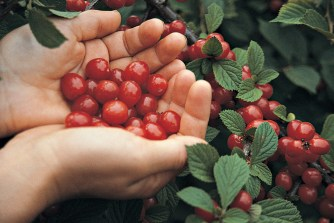 Nanking cherry fruits