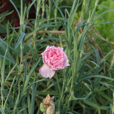 Carnation, fragrant and pretty