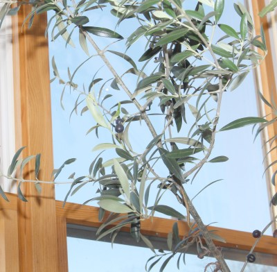 Olive tree in a sunny window