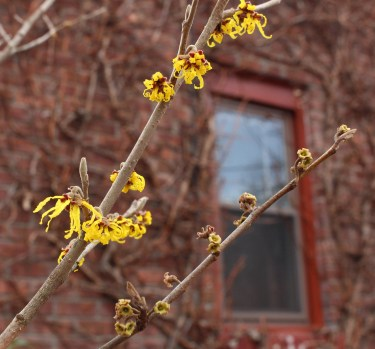 Witchhazel's winter flowers and remains of fall flowers