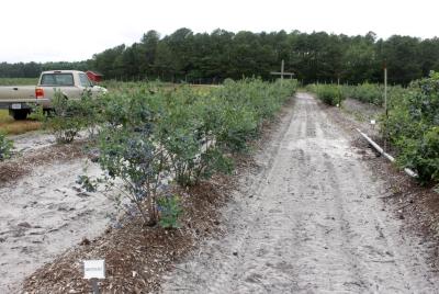 Blueberry field at USDA