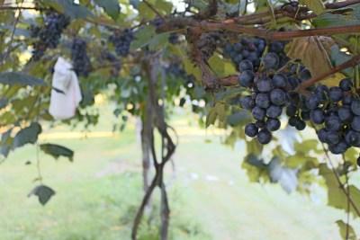 Cocord grape