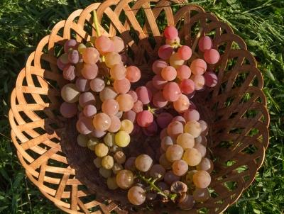 Glenora and Vanessa seedless grapes