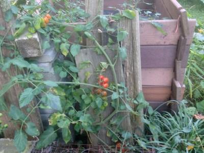 Compost pile tomato