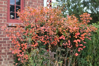 Fothergilla in autumn