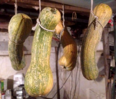 Argonaut squash hanging in basement