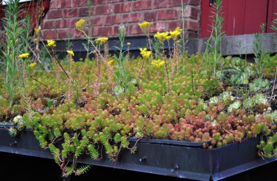 Sedum Angelina on green roof