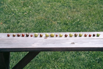 Gooseberry varieties on a bench