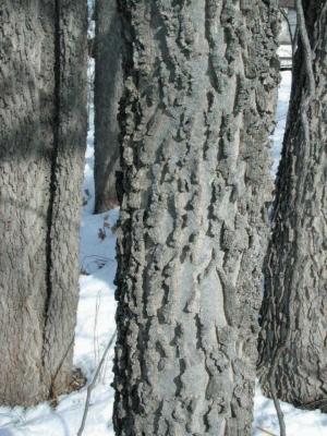 Hackberry bark