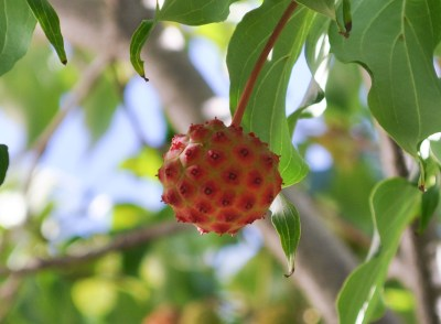 Cornus kousa fruit in summer