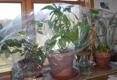 Houseplants covered to maintain high humidity