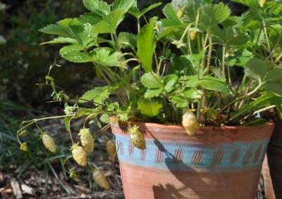 White alpine strawberries