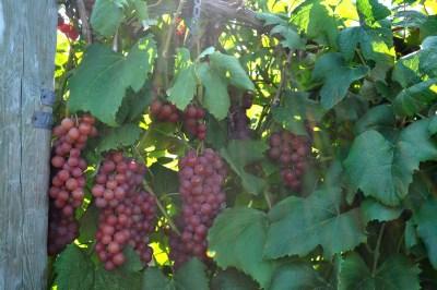 Vanessa grape