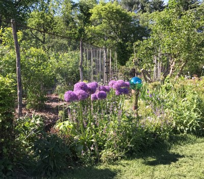 Flowering alliums