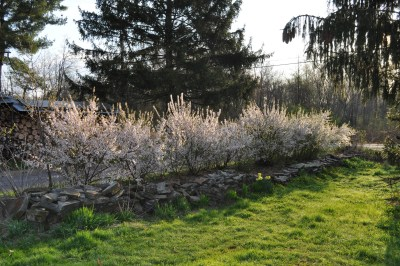 Nanking cherry hedge
