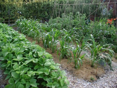 Highly cultivated sweet corn