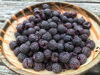 Black raspberry fruit