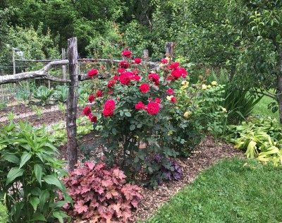 Braithewaite rose