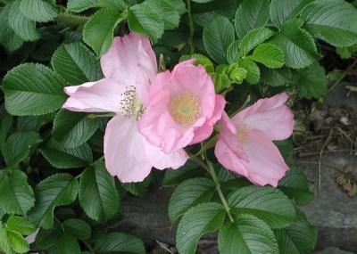 Rugosa rose blossom