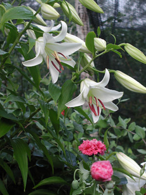 Casablanca lily in the garden