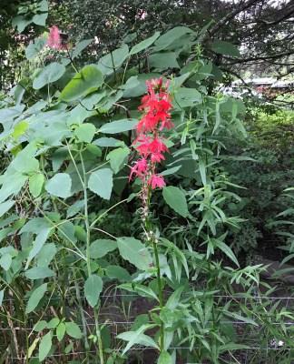 Cardinal flower I planted