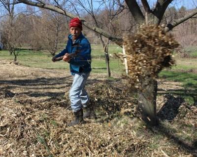 Mulching chestnuts
