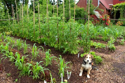 Dog Sammy and garden beds