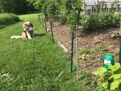 Sammy & electric fence