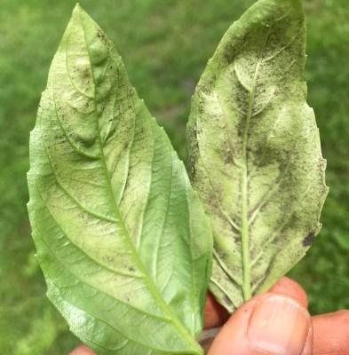 Basil downy mildew, leaf underside