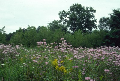 Meadow with monarda