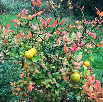 Hardy oranges ripening