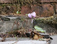 Cyclamen hederifolium, self-seeded