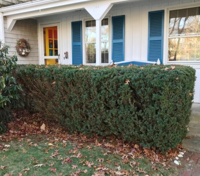 My brother's yew hedge
