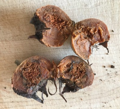 Medlar pest damage