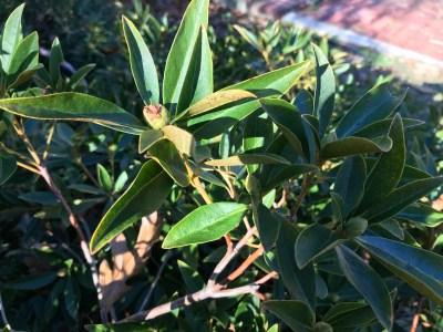 Wilson rhododendron flower bud