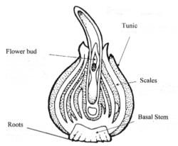 Bulb cross-section diagram