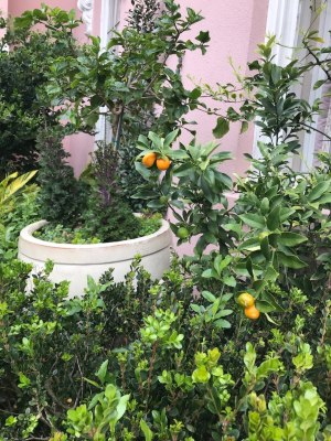 Kumquats in Charleston