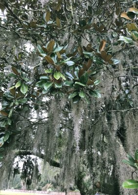 Southern magnolia decked with Spanish moss