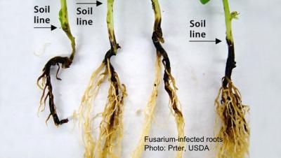Fusarium-infected pea roots